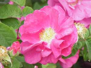Rosa_gallica_officinalis0